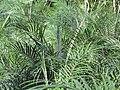 Starr-110209-0649-Phoenix roebelenii-leaves-Resort Management Group Nursery Kihei-Maui (24778624990).jpg