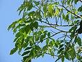 Starr-110330-4153-Pterocarpus indicus-leaves-Garden of Eden Keanae-Maui (24450642604).jpg