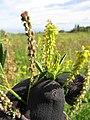 Starr-110405-4811-Melilotus indica-flowers and leaves-Kula-Maui (24989002291).jpg
