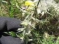 Starr-110531-5971-Ulex europaeus-habit with mite webbing biocontrol-Piiholo-Maui (25003073721).jpg