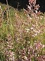Starr-110713-7092-Holcus lanatus-seedheads-Halemauu Trail HNP-Maui (25099063475).jpg