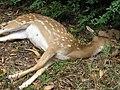 Starr-110715-7507-Eleusine indica-habit with dead deer on road-Olinda Rd Makawao-Maui (24469286094).jpg