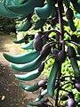 Starr-120301-3220-Strongylodon macrobotrys-flowers-Enchanting Floral Gardens of Kula-Maui (24841255830).jpg