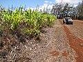 Starr-120702-7858-Cenchrus purpureus x glaucum-Hoolehua PMC hybrid Pearl Millet x banagrass-USDA Plant Materials Center-Molokai (24890511550).jpg