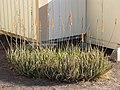 Starr-121218-1012-Aloe massawana-flowering habit-Honokanaia-Kahoolawe (24570904233).jpg
