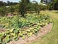 Starr-131002-2369-Cucurbita moschata-habit in orchard-Hawea Pl Olinda-Maui (25227276375).jpg