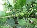 Starr-150403-1475-Solanum americanum-flowers fruit leaves-Near Pier Eastern Island-Midway Atoll (25159580702).jpg