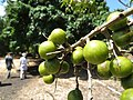 Starr-170913-0139-Sapindus saponaria-immature fruit-CTAHR Urban Garden Center Pearl City-Oahu - Flickr - Starr Environmental.jpg