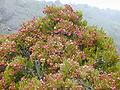 Starr 011003-0149 Dodonaea viscosa.jpg