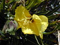 Starr 021114-0119 Oenothera stricta subsp. stricta.jpg
