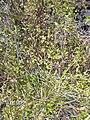 Starr 040331-0090 Cyperus cyperinus.jpg