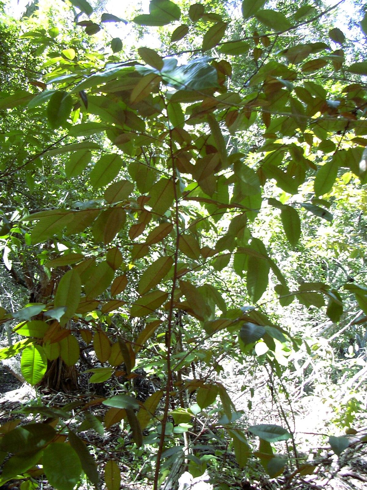 Chrysophyllum Oliviforme Wikipedia