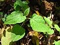 Starr 041130-1276 Physalis peruviana.jpg
