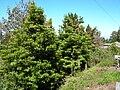 Starr 050216-4065 Pittosporum undulatum.jpg