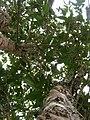 Starr 051029-5104 Alectryon macrococcus var. auwahiensis.jpg