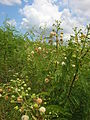 Starr 060721-9550 Leucaena leucocephala.jpg