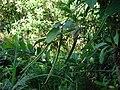 Starr 061128-1668 Centrosema molle.jpg