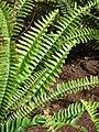 Starr 070221-4860 Nephrolepis cordifolia.jpg