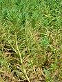 Starr 070515-7061 Myriophyllum aquaticum.jpg