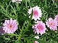 Starr 070906-8411 Argyranthemum frutescens.jpg