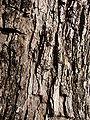 Starr 080417-4091 Jacaranda mimosifolia.jpg