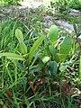Starr 080604-6217 Calophyllum inophyllum.jpg