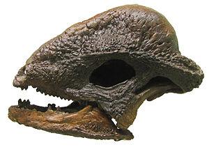 Stegoceras - Cast of S. validum UALVP 2, the first complete pachycephalosaur skull