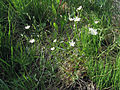 Stellaria graminea Oulu, Finland 08.06.2013.jpg