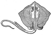 common stingray wikipedia Stingray Internal Diagram the oldest published depiction of a common stingray, from pierre belon\u0027s 1553 de aquatilibus libri duo