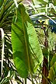 Strelitzia nicolai in Jardin des Plantes de Toulouse 04.jpg