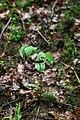 Streptopus amplexifolius, Les Fourgs - img 42949.jpg