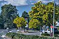 Stunning Golden Penda trees - Flickr - Tatters ❀.jpg