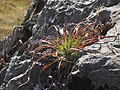 Succulent on the rocks (6228856565).jpg