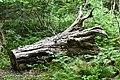 Sugar Maple Hollow Log (49687825301).jpg