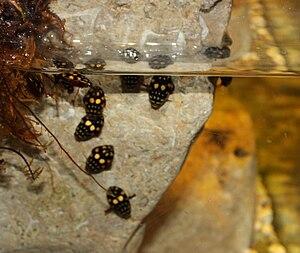 Thermonectus marmoratus - An enclosure for Sunburst Diving Beetles.