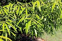 Sundacarpus amarus RBG Sydney.jpg