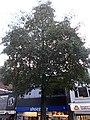 Sutton High Street trees (10).jpg