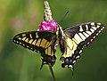 Swallowtail Pose (Papilio zelicaon).jpg