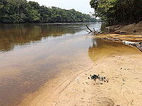 Swallowtails on bank of Lomami River at Katopa Camp, Democratic Republic of the Congo.JPG