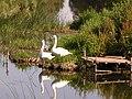 Swans on the River Avon at Offenham Park - geograph.org.uk - 623715.jpg