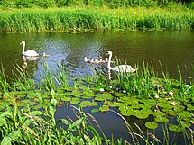 Swans with offspring 2.jpg