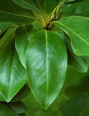 Magnolia virginiana - Image: Sweetbay Magnolia Magnolia virginiana Leaf 2000px