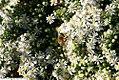 Symphyotrichum ericoides var. ericoides Schneegitter 1zz.jpg