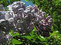 Syringa vulgaris20110528 033.jpg