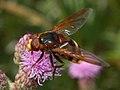 Syrphidae - Volucella zonaria (male).JPG