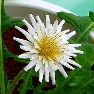 Taraxacum albidum - White-flowered Japanese dandelion