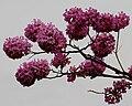 Tabebuia impetiginosa (Pink Trumpet tree) in Hyderabad, AP W IMG 2604.jpg