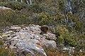 Tachyglossus aculeatus Tasmanian habitat.jpg