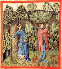 Harvesting cabbage. Tacuinum Sanitatis, 15th century.