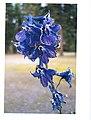 Tall Larkspur flowers (2973763361).jpg